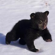 Black Bear, (Ursus americanus) Spring cub. Montana.  Captive Animal.