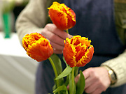 A man prepares his prize tulips for showing at the Harrogate Spring Show, Harrogate, North Yorkshire, UK