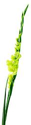 green gladiola