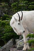 Mountain Goat along the trail, Glacier National Park, Montana, US; August 2011