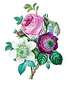 19th-century hand painted Engraving illustration of a bouquet of flowers with Rose, anemone and clematis, by Pierre-Joseph Redoute. Published in Choix Des Plus Belles Fleurs, Paris (1827). by Redouté, Pierre Joseph, 1759-1840.; Chapuis, Jean Baptiste.; Ernest Panckoucke.; Langois, Dr.; Bessin, R.; Victor, fl. ca. 1820-1850.