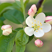 CRABAPPLE TREE BLOSSOMS - MALUS