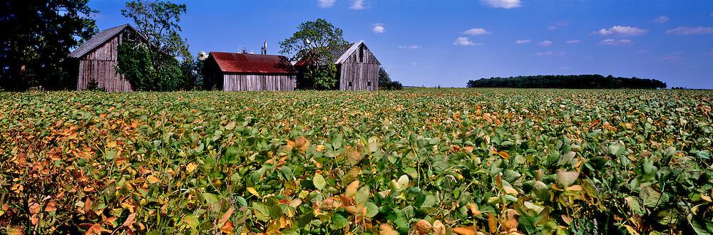 Bean fields in northwest Ohio.