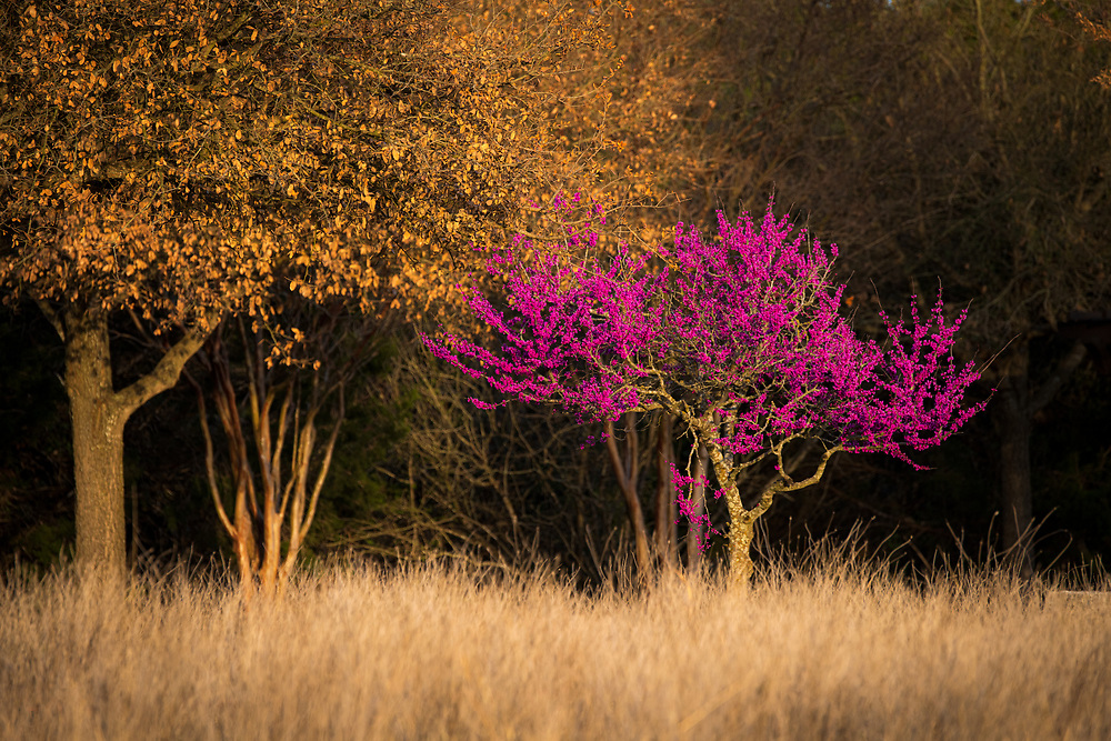 After the Texas deep freeze of 2021, the landscape thawed and the flowers bloomed. Redbud tree, South Austin, Texas