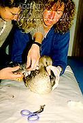 Alaska. Homer. Workers at the Homer Bird Center mend a duck's broken wing. MR.