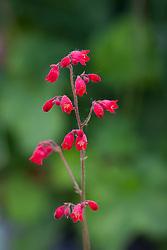 Heuchera sanguinea 'Scarlet'