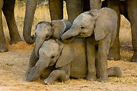 Baby Elephants, African Elephant herd, Camp Jabulani, Kapama Private Game Reserve, near Kruger National Park, South Africa
