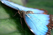 Blue Morpho Butterfly, Morpho peleides, Central & South America, resting with wings open