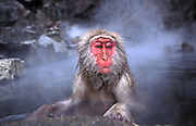 December 2003: A Japanese macaque monkey  (Macaca fuscata) sits in a hotspring in Jigokudani Monkey Park. The monkey is often referred to as  a Snow Monkey.
