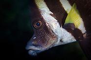 Evistias acutirostris (Striped boarfish)