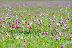 © Licensed to London News Pictures 01/05/2021, Cricklade, UK. Rare Snakeshead fritillary flowers approaching the peak of the flowering season carpet the north meadow nature reserve in the town of Cricklade, Wiltshire. Photo Credit : Stephen Shepherd/LNP