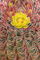 Barrel Cactus.(Ferocactus cylindraceus) flowers, Sonoran Desert, Anza-Borrego State Park California