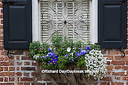 66512-00213 Window box with pansies, snapdragons, and allysum on brick building with blue shutters. Charleston, SC