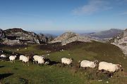 Sheep near Majada de Belbin in the Picos de Europa national park in northern Spain