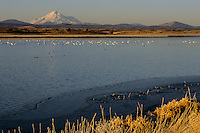 Ross's goose (Chen rossii) and Snow goose (Chen caerulescens) with Mt. Shasta in the background.  Tule Lake National Wildlife Refuge, California.  Nov 2002.
