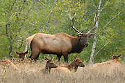 The alpha-male elk checks out the females during the fall rut at Gold Bluffs, near Klamath, California. American Elk (Cervus canadensis) are also known as Wapiti.