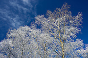 Snow covered Silver Birch trees at Swinbrook in Oxfordshire, England, United Kingdom