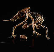 This Oviraptor from the Gobi Desert in Mongolia displayed at the Ulan Bator State Museum in Mongolia.