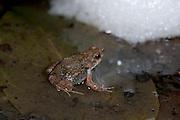 Tungara Frog, Engystomops pustulosus, Panama, by floating foam nest in water, Central America, Gamboa Reserve, Parque Nacional Soberania