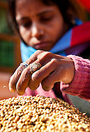 Kamlesh Chandra, the assistant cook at Astitva, a non-profit organization in Dehradun, India, sorts through coriander seeds for twigs and other debris before grinding. The ground coriander is sold at Astitva's retail store. Food from the kitchen is served to the day-school children, staff and to customers who buy traditional Indian tiffins for lunch. Astitva, a non-governmental organization (NGO), helps battered women become more economically independent, such as starting small businesses. It also provides the women with family services so they have time to pursue their business interests. The kitchen at Astitva is operated by two women as a profit-making business. Dehradun is a city of 575,000 about six hours north of New Delhi by train. Nestled next to the Himalayan foothills, it's a little off the path for most tourists. Astitva is located in a neighborhood where poor and upper class people live within close proximity.