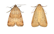 73.147 (2345)<br /> Small Dotted buff - Photedes minima