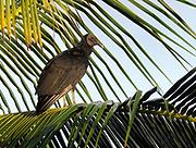 A black vulture (Coragyps atratus) perches on a palm tree stump on the beach at Tortuguero. Tortuguero National Park, Limon Province, Costa Rica. 18Nov13.