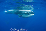 Bryde's whale, Balaenoptera brydei or Balaenoptera edeni, with throat pleats expanded after feeding on baitball of sardines (ctenophores and other gelatinous zooplankton float in front of whale), off Baja California, Mexico ( Eastern Pacific Ocean )