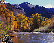 Autumn gold of balsam poplars, Populus balsamifera, along the Big Wood River between Ketchum and Hailey, Pioneer Mountains, Idaho.