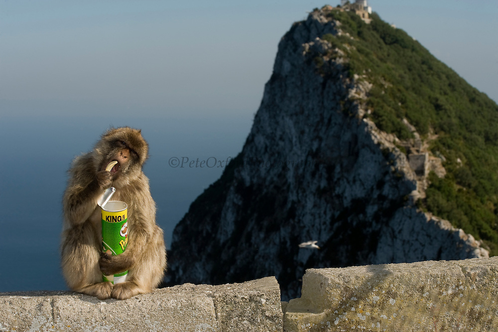Barbary Macaque or Barbary Ape (Macaca sylvanus) eating stolen tourist food<br /> GIBRALTAR, UNITED KINGDOM<br /> Only monkey in Europe. True monkeys not apes and the only monkey without a tail. They are arboreal and terrestrial.<br /> IUCN: ENDANGERED SPECIES