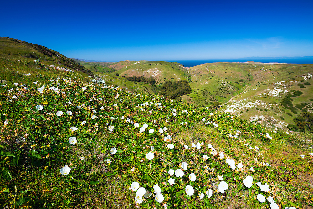Island Morning Glory at Scorpion Ranch, Santa Cruz Island, Channel Islands National Park, California USA