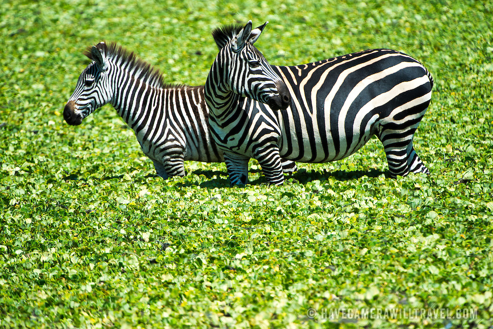 A pair of zebras stand in the shallow waters of a small reed-covered lake at Tarangire National Park in northern Tanzania not far from Ngorongoro Crater and the Serengeti.