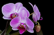 Orchid Bloom Orchid Bloom