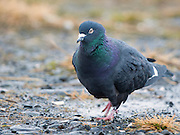 """This is a domestic pigeon. The Rock Pigeon (Columba livia), or Rock Dove, is a member of the bird family Columbidae (doves and pigeons). In common usage, this bird is often simply referred to as the """"pigeon"""". The species includes the domestic pigeon (including the fancy pigeon), and escaped domestic pigeons have given rise to feral populations around the world."""