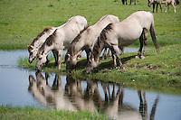 Konik horses drinking. Oostvaardersplassen, Netherlands. Mission: Oostervaardersplassen, Netherland, June 2009.