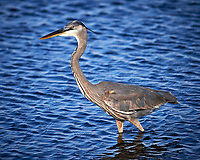 Great Blue Heron. Black Point Wildlife Drive, Merritt Island National Wildlife Refuge. Image taken with a Nikon Df camera and 300 mm f/4 lens (ISO 140, 300 mm, f/4, 1/1250 sec).