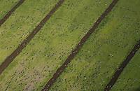 NEDERLAND - Ganzen boven de weilanden.     COPYRIGHT  KOEN SUYK