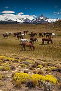 Horses grazing, La Quinta estancia on edge of Parque Nacional Los Glaciares, famous peaks Cerro Torre and FitzRoy behind, Patagonia, Argentina.