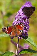 Peacock butterflies, Inachis io, feeding on nectar from Buddleia Davidii, Buddleja Davidii, flowering shrub in English country garden, UK