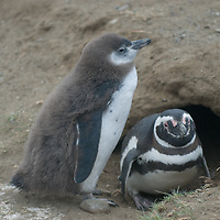 A Magellanic Penguin and its chick in their nesting burrow on Magdalena Island in the Strait of Magellan, Chile.