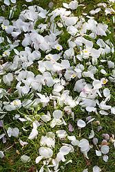 Daisies amongst fallen cherry blossom