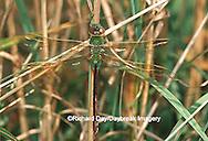 Common Green Darner (Anax junius) female in wetland, Marion Co. IL
