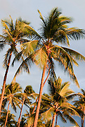 Sunset palm trees in Hawaii.