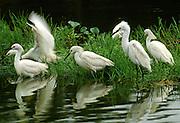 Snowy Egrets feeding in a shallow pond - Mississippi.