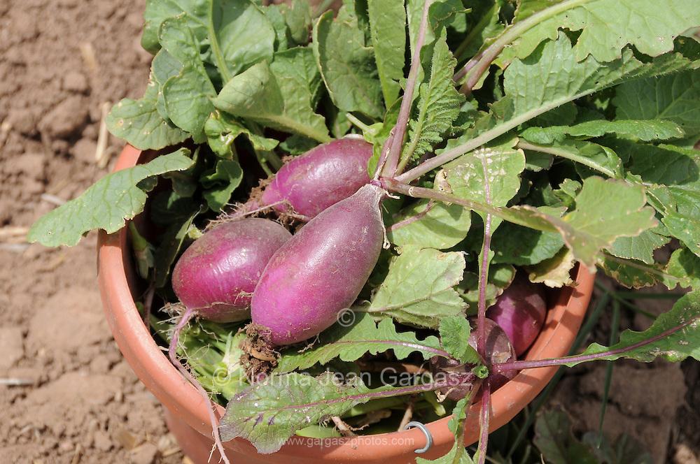 Radishes harvested at Agua Linda Farm, all natural, organic growers, Amado, Arizona, USA.