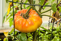 A Gold Medal tomato ripens on the vine in an organic garden.