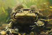Giant Titicaca Frog <br />Telmatobius culeus<br />Lake Titicaca. Border BOLIVIA & PERU