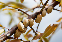 FRANKRIJK - Le Plan du Castellet - Slakken in een boom. ANP COPYRIGHT KOEN SUYK