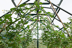 Tomatoes in the greenhouse at Glebe Cottage