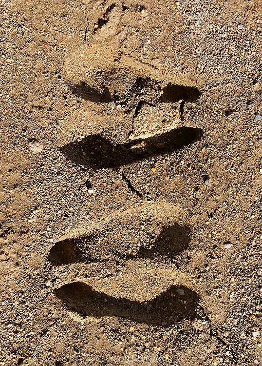 Pronghorn Tracks—Coming and Going, BLM Lands, Modoc County, California