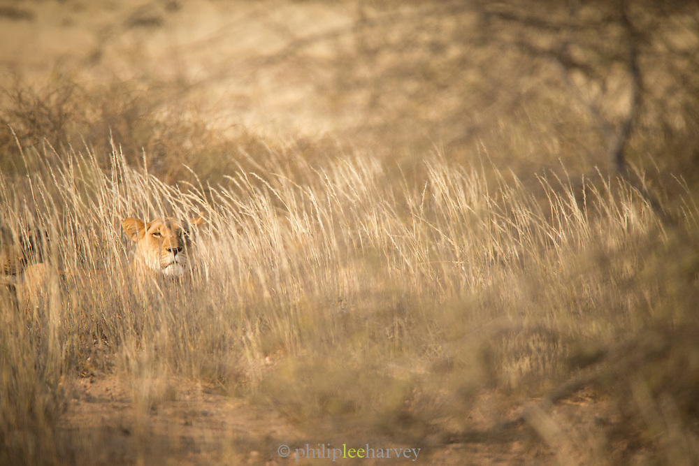 Desert Lion in the grass, Hoanib River, Skeleton Coast, Northern Namibia, Southern Africa
